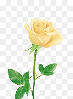 手绘花朵图片鲜花素材 黄色玫瑰花